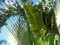 Travelers Palm.jpg