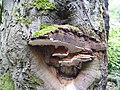 Tree fungus - geograph.org.uk - 495925.jpg