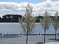 Tree in a row at Commonwealth Place, Canberra (244971074).jpg
