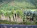 Trees In The Rheidol Valley - geograph.org.uk - 556118.jpg