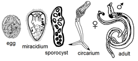 Trematode lifecycle stages.png