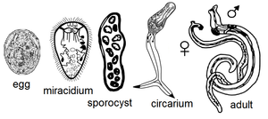 Trematode life cycle stages - Life cycle stages of a digenean human parasite, Schistosoma japonicum