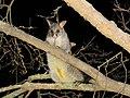 Trichosurus vulpecula (23965060208).jpg