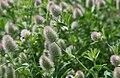 Trifolium arvense, Rabbit's foot clover.jpg