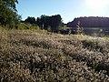 Trifolium arvense (subsp. arvense) sl23.jpg