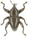 Trigonopterus angustus holotype - ZooKeys-280-001-g008.jpg