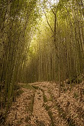 Photograph of a grassy trail through a forest