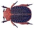 Trox (Omorgus) baccatus Gerstaecker, 1867 (4256928562).jpg
