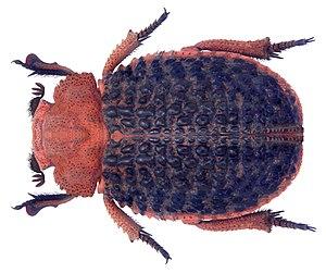Trox - Trox baccatus