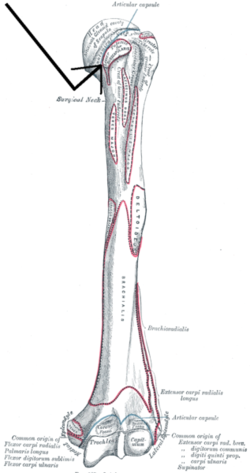line diagram with Lesser Tubercle on Chpt7 further How To Draw A Scorpion furthermore Trapezoids and kites additionally Lesser tubercle furthermore Me006.