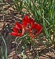 Tulipa-Sharonensis-ZE-5473.jpg