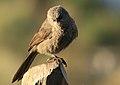 Turdoides melanops -near Sawela Lodge, Lake Naivasha, Kenya-8 (2).jpg