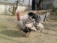 Turkey (bird) 220px-Turkeyb