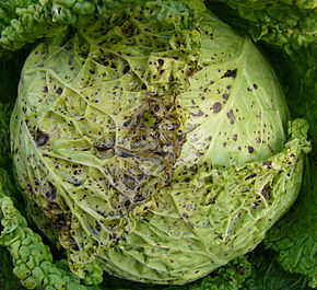 Turnip yellow mosaic virus 2.jpg