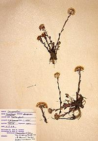Tussilago farfara BW-1966-0403-0921.jpg