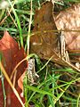 Two common field grasshoppers? (Chorthippus brunneus), Sandy, Bedfordshire (6037884897).jpg