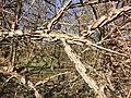 Ulmus minor (subsp. minor) sl22.jpg