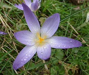 Unidentified Crocus 01.jpg