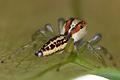 Unknown jumping spider (14515820421).jpg