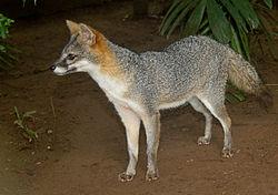 Un renard gris, au Panama