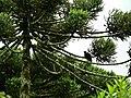 Urubus-de-cabeça-preta repousando numa Araucária.jpg
