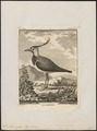 Vanellus cristatus - 1700-1880 - Print - Iconographia Zoologica - Special Collections University of Amsterdam - UBA01 IZ17200115.tif