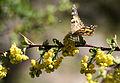 Vanessa cardui - Diken kelebeği 19.jpg