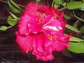 Variedad rosa de flor de Hibiscus.JPG