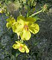 Verbascum sinuatum2.jpg