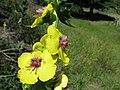 Verbascum virgatum flower5 NT (16806816725).jpg