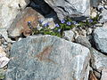 Veronica alpina001.jpg