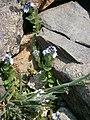 Veronica serpyllifolia ssp humifusa.JPG