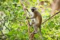 Vervet Monkey (Chlorocebus pygerythrus) - Gorongosa National Park, Mozambique.jpg