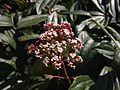 Viburnum davidii flowers.jpg