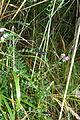 Vicia sepium (8016816365).jpg