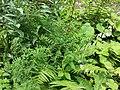 Vicia sylvatica sl1.jpg
