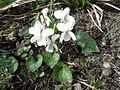 Viola alba subsp. scotophylla sl3.jpg