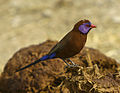 Violet-eared Waxbill - Etosha - Namibia 0011 (22973753612).jpg