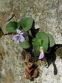 Violet (4527044838).jpg