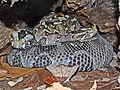 Viperidae - Bitis nasicornis.JPG
