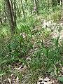 Viscaria vulgaris sl6.jpg