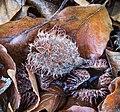 Vrucht (nap) van een beuk (Fagus sylvatica) (d.j.b.) 01.jpg