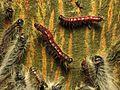 Walnut Caterpillars on Bitternut Hickory - Flickr - treegrow (3).jpg