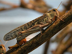 2013 Madagascar locust infestation - A female migratory locust sitting on a branch with a juvenile in the background