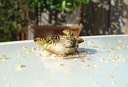 Wasps eating grilled chicken 7.JPG