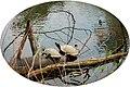 Wasserschildkröten -.jpg