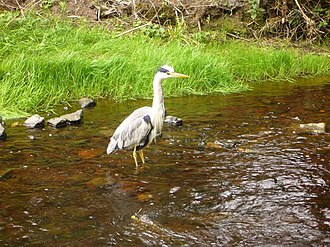 Water of Leith - Heron on the Water of Leith