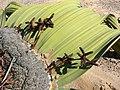 Welwitschia mirabilis 2 MHNT.jpg