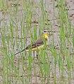 Western yellow wagtail (Motacilla flava).jpg