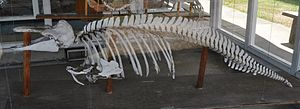 Harbour porpoise - Harbour porpoise skeleton on display